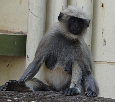 sleeping_monkey